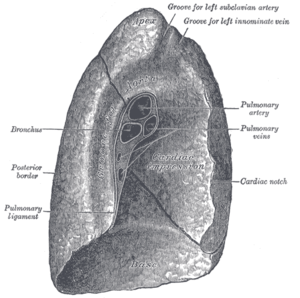 Root of the lung - Mediastinal surface of left lung.