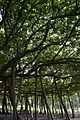 Great Banyan Tree - Indian Botanic Garden - Howrah 2012-09-20 0066.JPG