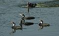 Great Cormorant Phalacrocorax carbo by Dr. Raju Kasambe DSCN3804 (5).jpg