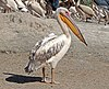 Great white pelican (Pelecanus onocrotalus).jpg