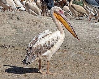 Great white pelican species of bird