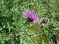 Greater Knapweed - Centaurea scabiosa - geograph.org.uk - 1165638.jpg