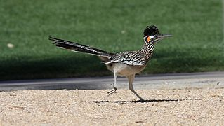 Greater Roadrunner (Geococcyx californianus) (3399096675).jpg
