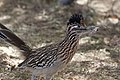 Greater Roadrunner Sweetwater Wetlands Tucson AZ 2018-02-13 11-31-22 (40219484482).jpg