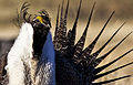Greater Sage-Grouse Conservation (16759461044).jpg