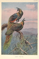 Green Peafowl by George Edward Lodge.png
