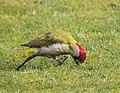 Green Woodpecker (Picus viridis) - geograph.org.uk - 1195618.jpg
