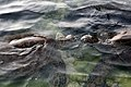 Green turtles in tidepools in Kona 1.jpg