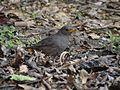 Grey-winged Blackbird - Turdus boulbouDSC01349.jpg