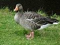 Greylag goose, Regent's Park - geograph.org.uk - 951739.jpg