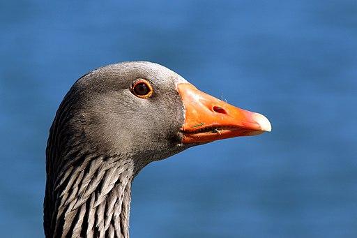 Greylag goose (Anser anser) head