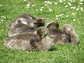 Greylag goslings - geograph.org.uk - 812354.jpg