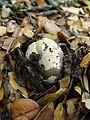 Grisette (Amanita vaginata) (2189251104).jpg
