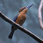 Guam Micronesian Kingfisher at Bronx Zoo-8-4c.jpg