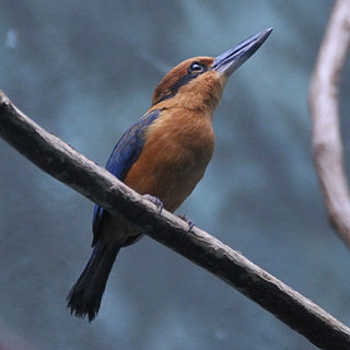 Guam kingfisher Species of kingfisher from the United States Territory of Guam