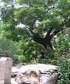 Guilty Chinese Scholar Tree.jpg