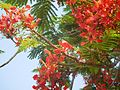 Gulmohar flower 1.jpg