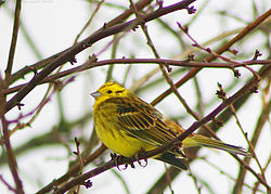 meaning of emberiza