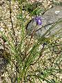 Gynandiris (Moraea) sisyrinchium (17223379749).jpg