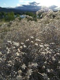 Gypsophila paniculata near the Columbia River 3.jpg