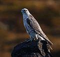 Gyr falcon - Falco rusticolus - Fálki 4.jpg