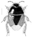 HEMI Cydnidae Aethus thoreyi.png