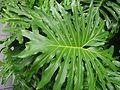 HK 香港 Dr Sun Yat-Sen Memorial Park 中山紀念公園 green leaf June 2016 DSC.jpg