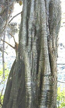 Haematoxylum brasiletto-trunk.jpg