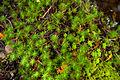 Haircap moss (25434032430).jpg