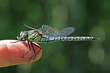Hairy dragonfly (Brachytron pratense) male on finger.jpg