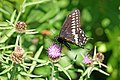 Halifax DSC08397 - Black Swallowtail Butterfly (35934717240).jpg