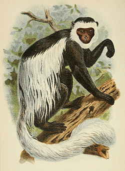 Colobe guéréza (Colobus guereza),A Hand-book to the Primates, 1897.