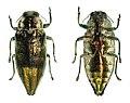 Haplotrinchus philippinensis (45928032974).jpg