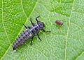 Harmonia axyridis - lifecycle A - 09 - larva.jpg