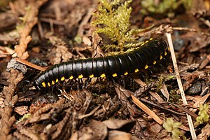 Millipede - Harpaphe haydeniana (Polydesmida)