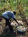Harvesting maize.jpg
