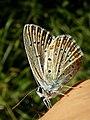 Hauhechel-Bläuling - Polyommatus icarus.jpg