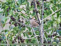 Hawfinch (Coccothraustes coccothraustes) (34836879532).jpg