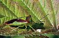Hawthorn shield bug (Acanthosoma haemorrhoidale).jpg