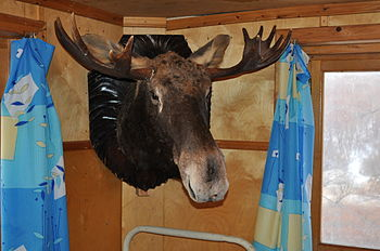 The Stuffed Head of Moose