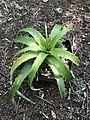 Hechtia nuusaviorum (Beauvoisin) - IMG9712.jpg