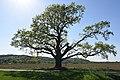 Heiligenbrunn Sieleiche Quercus robur in Burgenland.JPG