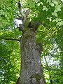 Heimsbrunn Chêne Saint Louis.jpg