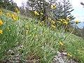 Helianthella uniflora (5384590185).jpg