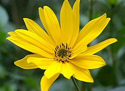 meaning of helianthus