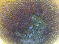 Helianthus annuus wetland 2.jpg