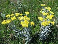 Helichrysum arenariumm.jpg