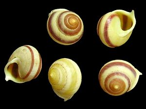 Rostrata - Shells of Helicina rostrata, showing the projection on the aperture