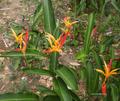 Heliconia psittacorum.png