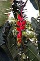Heliconia rostrata 26zz.jpg
